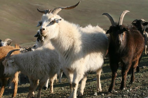 Pecore cachemere.jpg