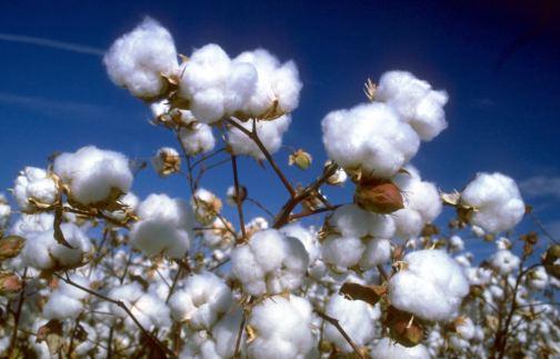 pianta-cotone